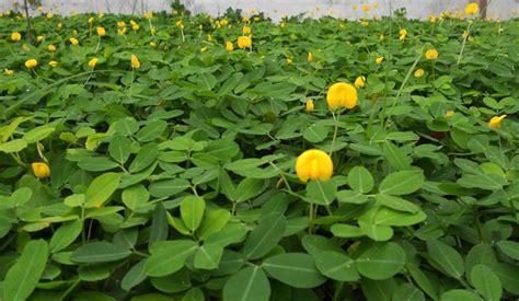 jual tanaman kacang hias pinto peanut  lapak bb plant