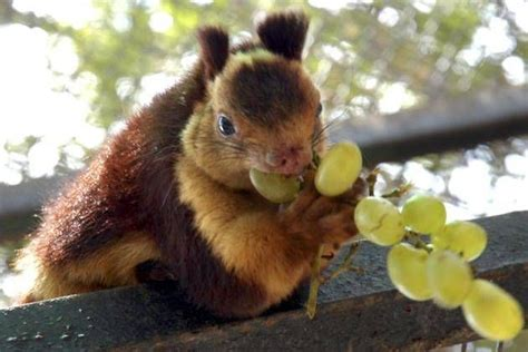 indian giant squirrel eating grapes what a wonderful