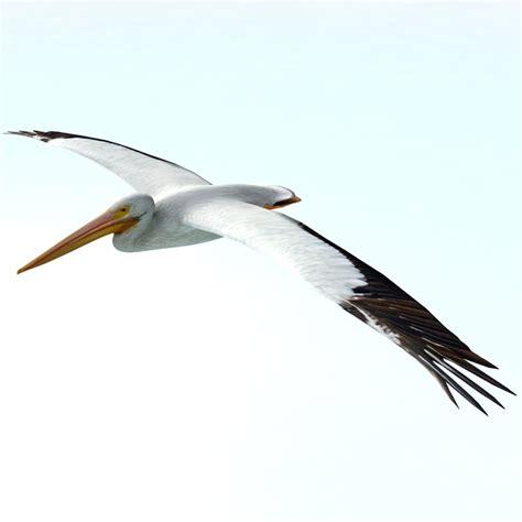 pelican flying boat pelican 3d models