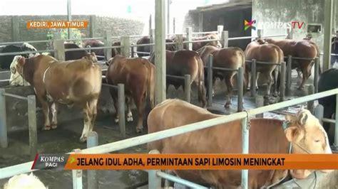 Bibit Sapi Limosin Jawa Timur jelang idul adha permintaan sapi limosin meningkat