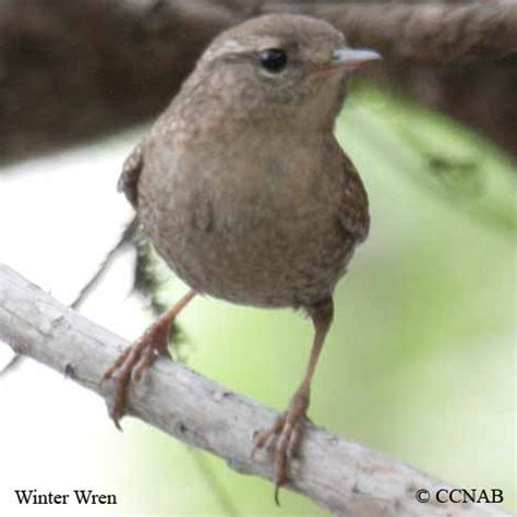 winter wren north american birds birds of north america