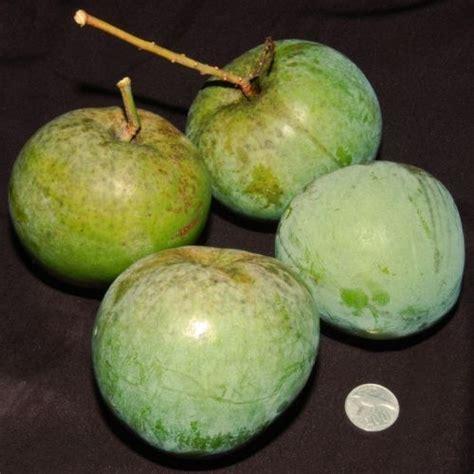 mangga kelapa jual bibit tanaman  buah