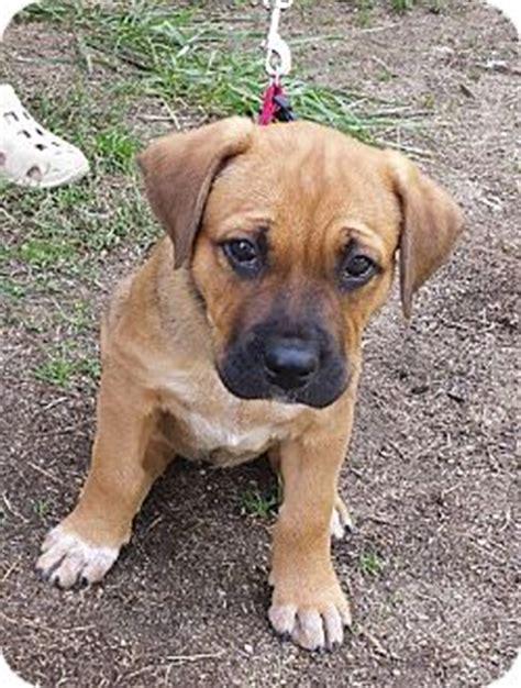 kreitzer s critter corral puppy rescue harrisburg nc blue heeler mix meet brie a puppy for adoption