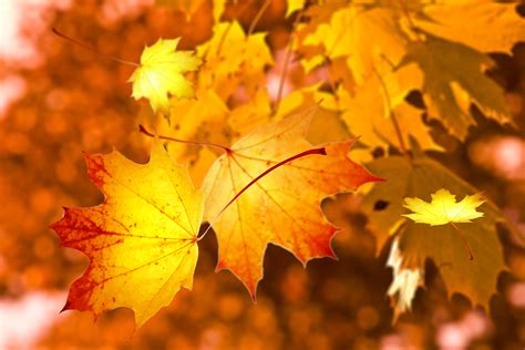 wallpaper daun maple free images branch sunlight autumn yellow maple tree