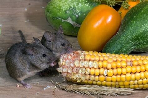 what is the best thing to feed wild mice pet mice blog