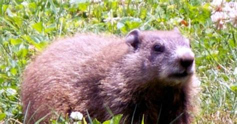 Get Rid Of Groundhogs Shed by Groundhog One Of These Chubbers Living