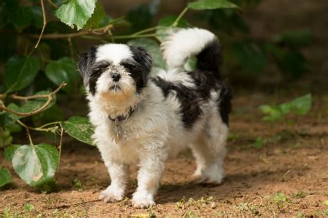 crossroads shih tzu rescue shih tzu pictures information and reviews