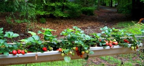 Gutter Strawberry Planter by Strawberry Gutter Planter For Garden Fence Crafts