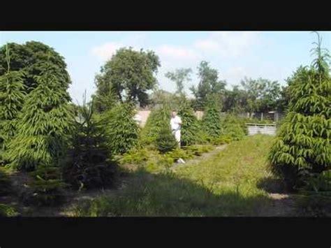 shearing christmas trees at billingley 2013 youtube