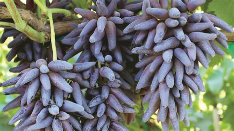 grape revolution sunraysia daily