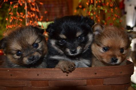 pictures of shih tzu mixed with pomeranian shiranian puppies models picture