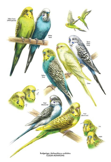 Budgerigar Color Mutations - Andrew Leach Projects