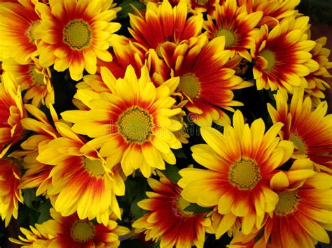 imagenes de flores rojas y amarillas red and yellow chrysanthemum flowers royalty free stock