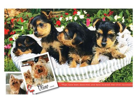 yorkie pu beautiful yorkie puppies for sale terriers pretoria puppies for sale