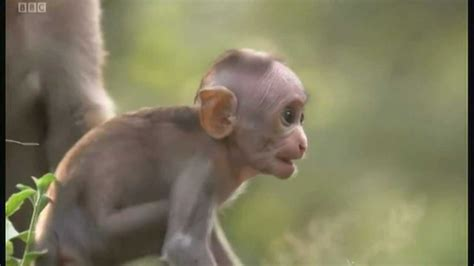 baby macaque monkey  slapped planet earth  youtube