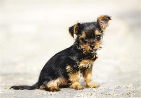yorkie personality traits personality traits of the tiny and lovable chihuahua yorkie mix