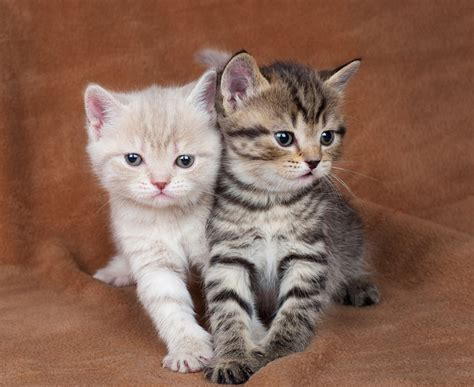 Cat Lover 2 companion animal psychology one kitten or two