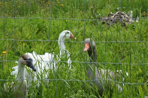 Backyard Chickens Yarn Rent A Geese
