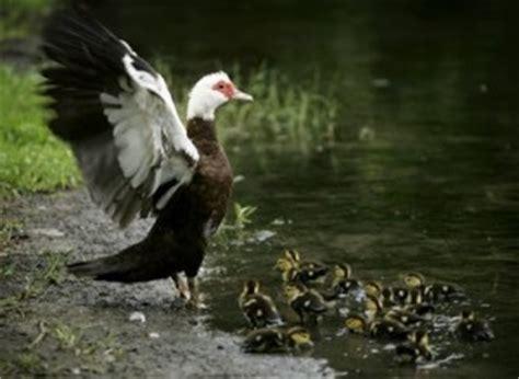 what do ducks eat – where do ducks live what do ducks