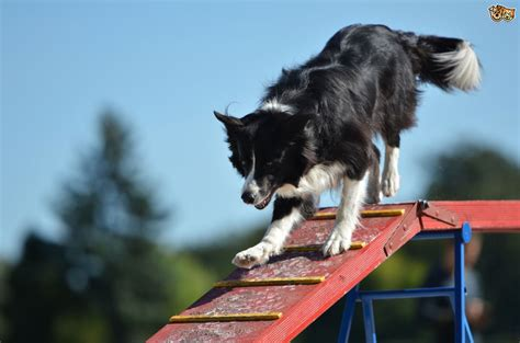 puppy agility competing in your agility show what to do pets4homes
