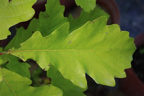 Photo Store Pictures Of A White Oak Leaf Download White Oak Leaf