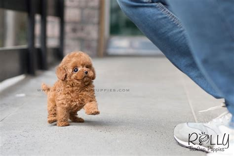 rolly teacup puppies reviews sold to pina taffy poodle f rolly teacup puppies
