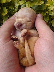ta puppies a newborn chihuahua