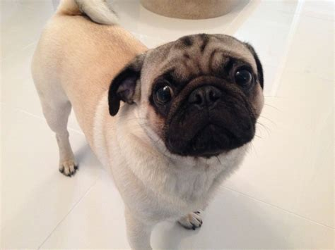 fawn pug for sale fawn pug junior for sale milton keynes buckinghamshire pets4homes