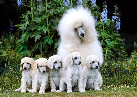 breeds for families best large breeds for families photo gallery