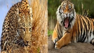 Tiger Cheetah Leopard Jaguar Panther Tiger Cheetah Leopard Jaguar Vs Tiger Leopard Cheetah