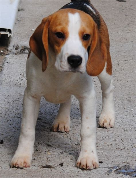 beagle puppy names 10 best beagle names