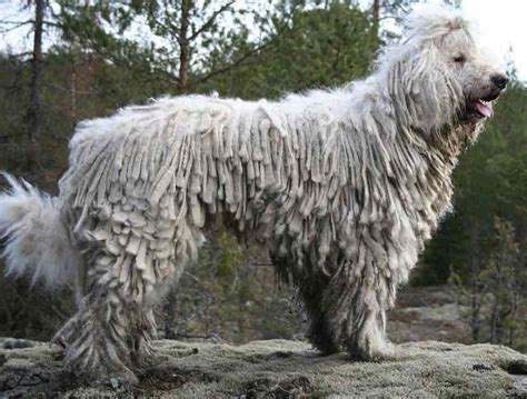 large russian breeds largest breed russian pets wallpapers