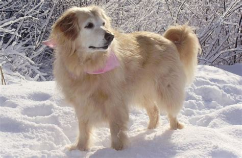 golden retriever duck we announce the passing of our beloved hailey we you hailey pet memorial