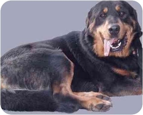rottweiler and great pyrenees mix great pyrenees rottweiler mix breeds picture