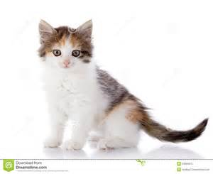 multi colored cat multi colored kitten royalty free stock photo image