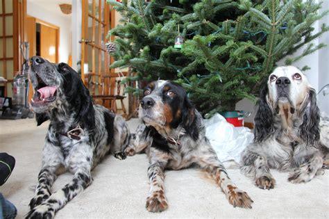 llewellin setter dog size llewellin setter breed page 5
