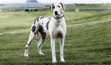 great dane dogs great dane dog breed info pictures petmd great dane dog breed information