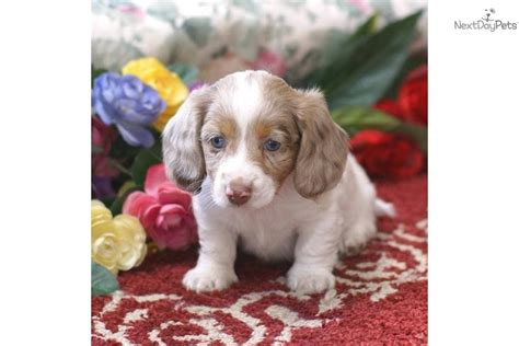 dachshund puppies ohio silver dapple dachshund puppies for sale ohio