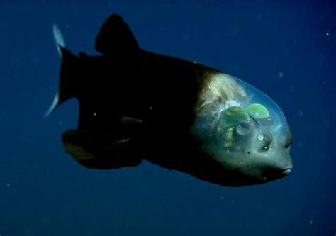 Gif Animals Science Sharks Biology Marine Biology Behavior - barreleye fish tumblr