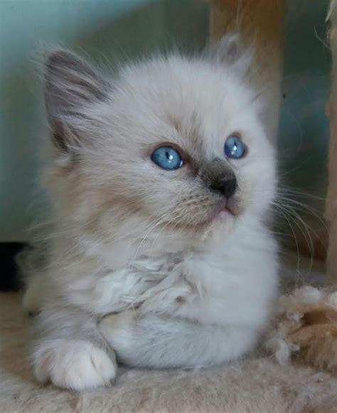 regalo gattini pavia vendita gattino ragdoll a pavia da allevamento annunci