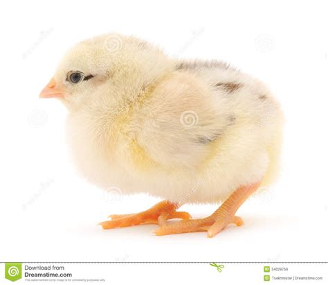 small chicken small chicken royalty free stock images image 34029759