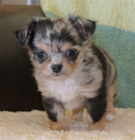 merle chihuahua puppies pofahls finding nemo black and longcoat merle chihuahua puppy my new upcoming
