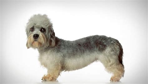dandie dinmont terrier puppies dandie dinmont terrier breed selector animal planet