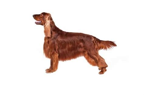 irish setter dog characteristics irish setter breed information facts pictures