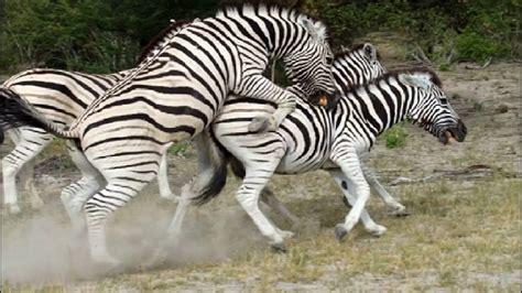 animal mating with mating animals zebra animal mating
