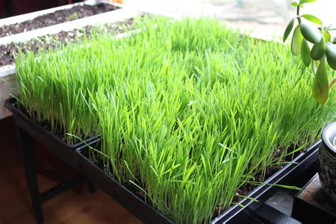 Wellness Wheat Grass growing and juicing wheatgrass for the time