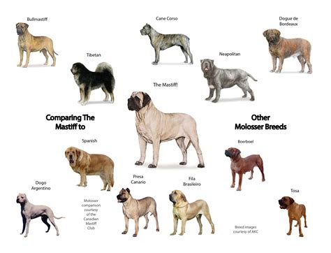 mastiff breeds molosser dogs www imgkid the image kid has it