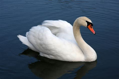 swan the life and the mute swan heritage radio network