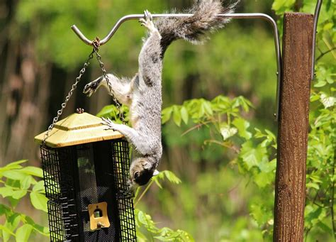 squirrel climbing a bird feeder photograph by paulette thomas
