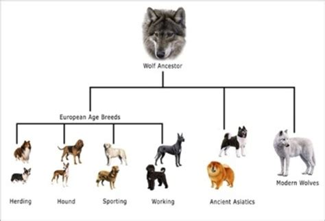 are dogs descended from wolves evolution of dogs timeline timetoast timelines